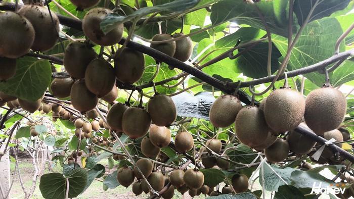 猕猴桃用什么肥料好?