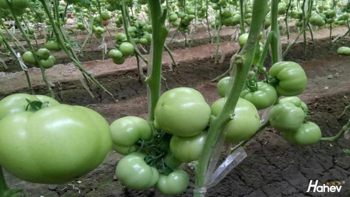 西红柿不长个是什么原因?
