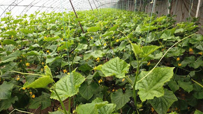 颗粒水溶肥哪家好,颗粒水溶肥在黄瓜上的使用效果