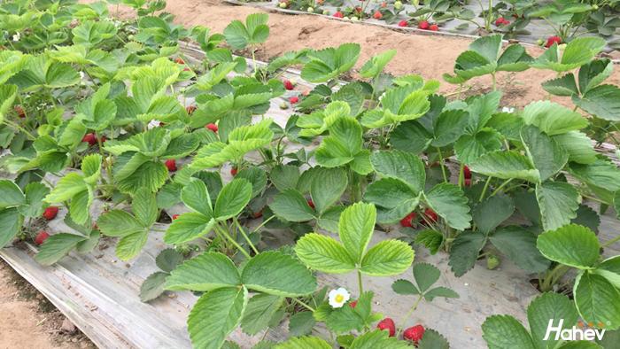 草莓重茬怎么办,海和威为您解决