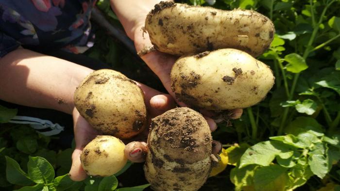 进口水溶肥-马铃薯