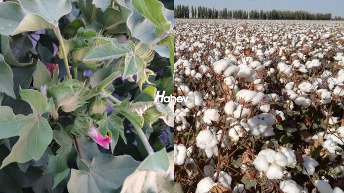 怎样提高棉花出苗率,海和威李技术告诉你方法