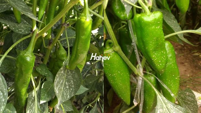辣椒用什么肥料高产?