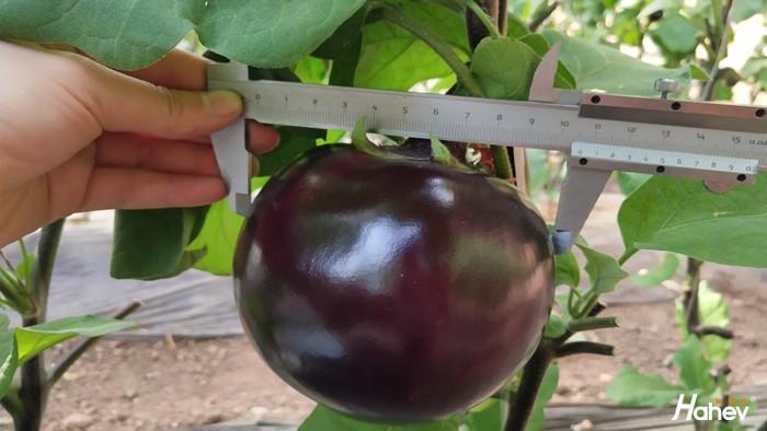 茄子用什么肥料好?