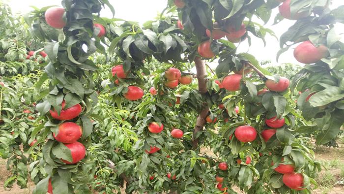 大量元素水溶肥在油桃上的效果