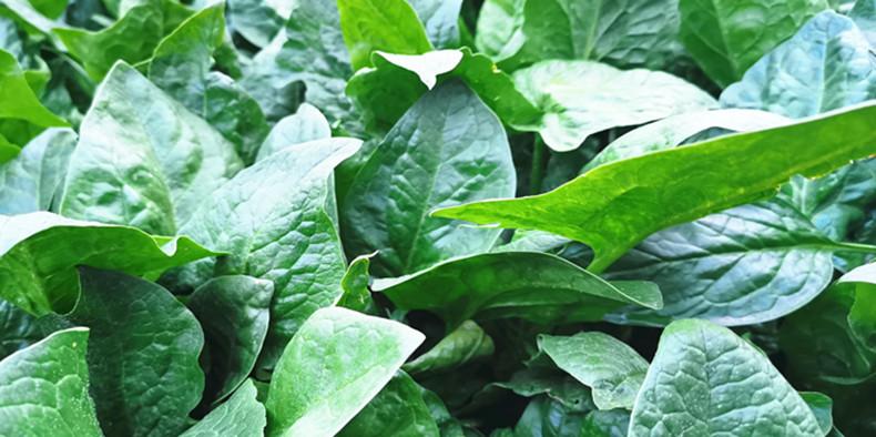 锌肥-菠菜