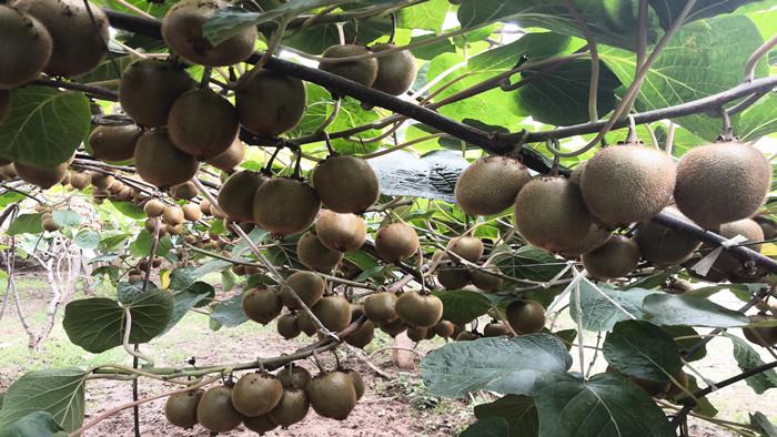 叶面肥在猕猴桃中的使用技巧