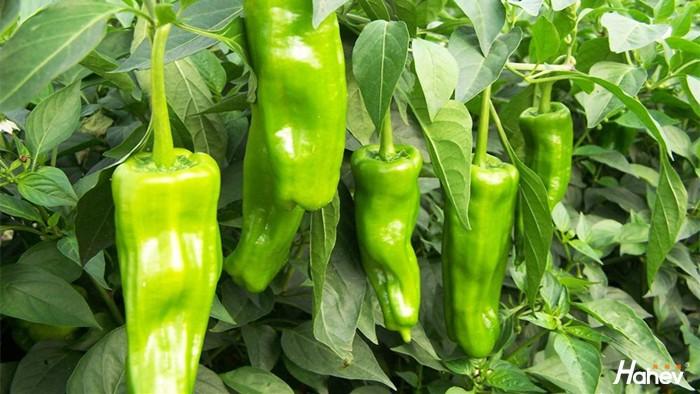 微生物菌剂在辣椒上的效果,白大哥家辣椒大丰收