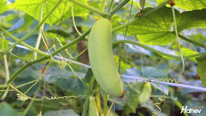 黄瓜用什么肥料产量高