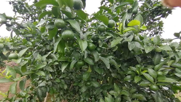 柑橘膨大用什么肥