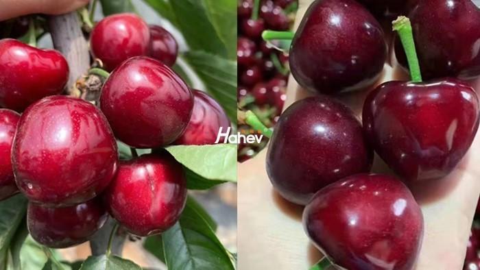 磷酸二氢钾-樱桃-缩