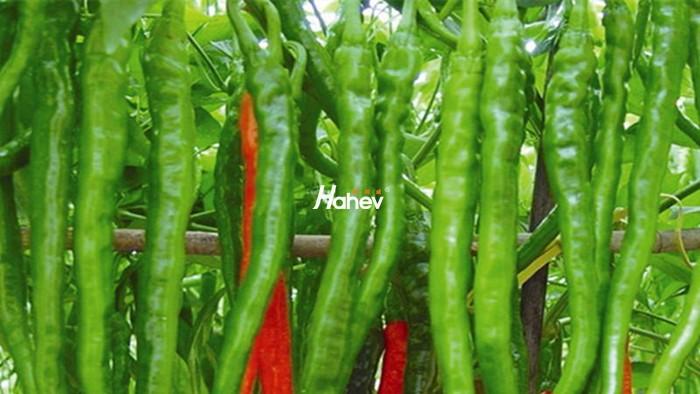 辣椒移栽用什么肥?该如何施肥?