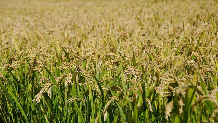 水稻叶面肥哪种好