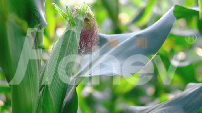 水溶肥-玉米