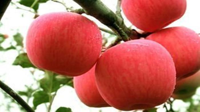 苹果施肥 海餐沃