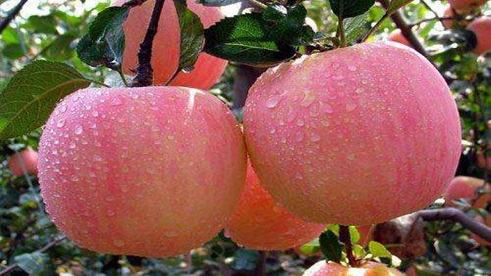 苹果 水溶肥 海餐沃