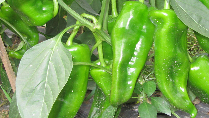 辣椒用什么肥料好