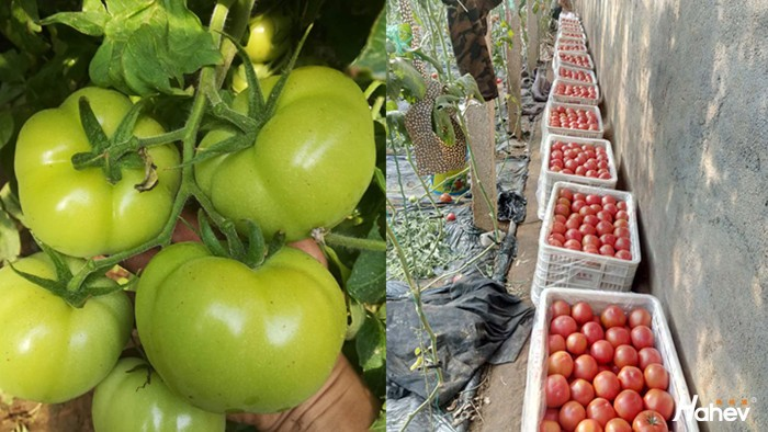 磷酸二氢钾-西红柿