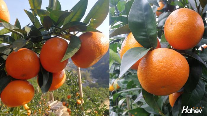 冬季柑橘施什么肥好