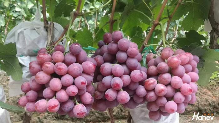 葡萄用什么肥料增甜