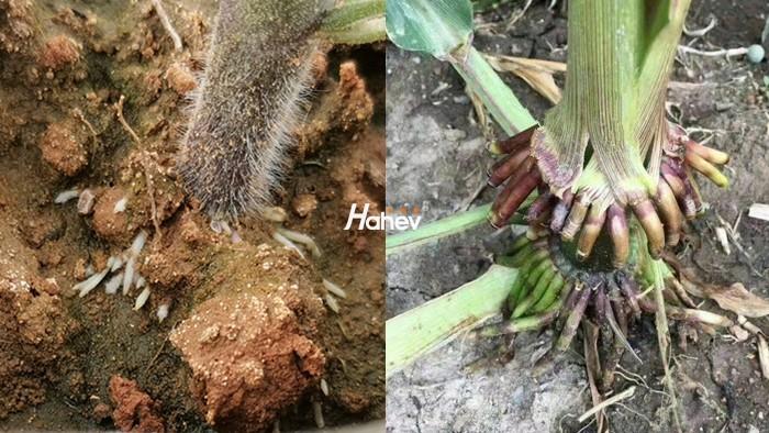 生根剂-作物生长的根本