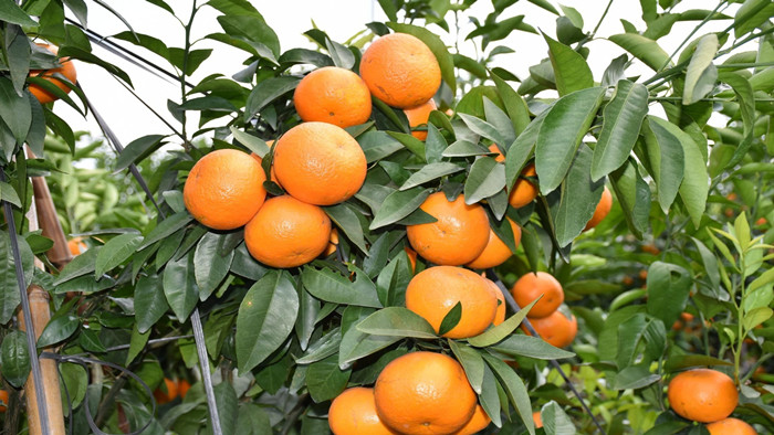 柑橘膨大期施什么肥