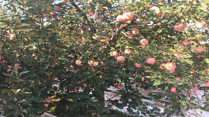 磷酸二氢钾,能让你的苹果品质好、产量高