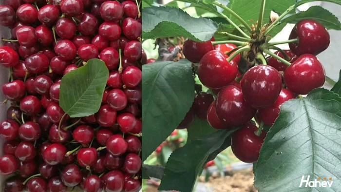 大樱桃专用肥哪个好?