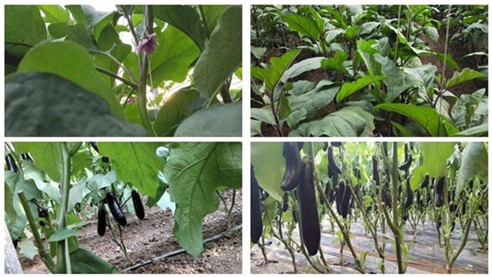 茄子如何施肥产量高