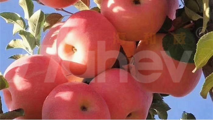 微生物菌肥厂家-苹果
