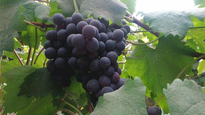 大量元素水溶肥在葡萄上的效果,王老板看中它
