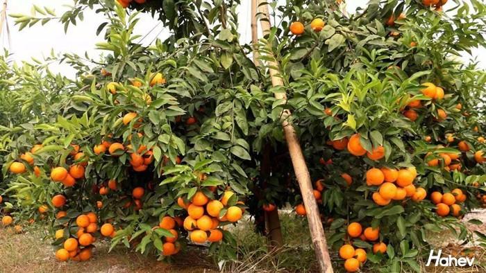 沃柑膨果用什么肥