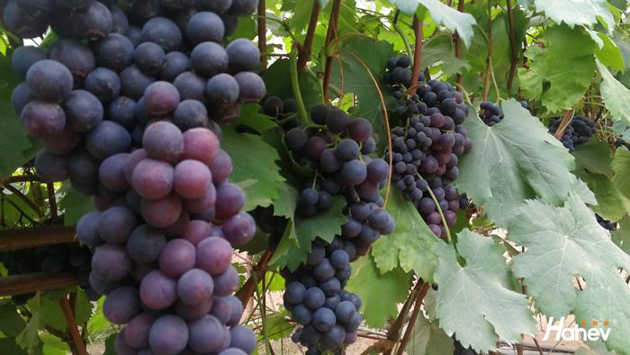葡萄秋季施什么肥