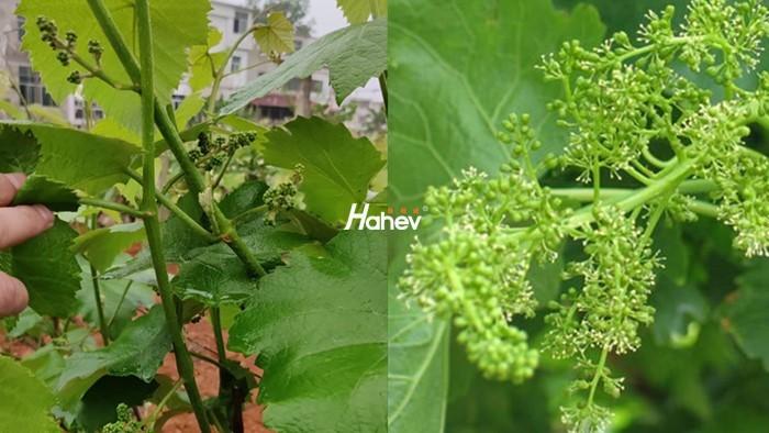 水溶肥在果树开花期如何使用?