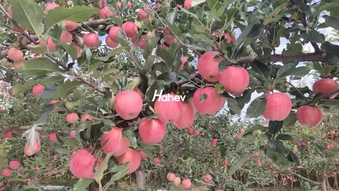 叶面肥厂家如何助力苹果增产增质