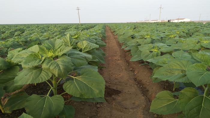 叶面肥哪个好,进口叶面肥在葵花上的作用