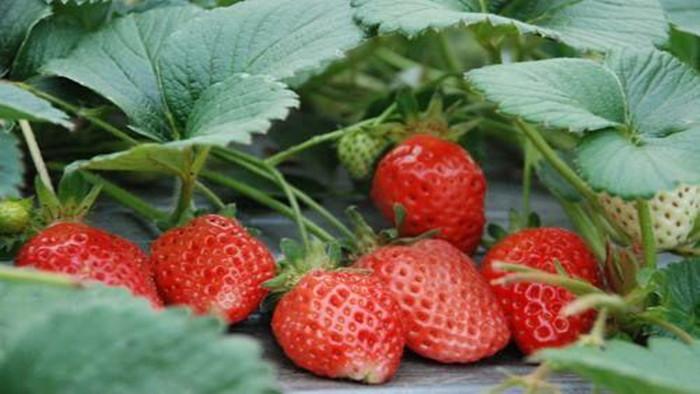 海餐沃 草莓如何施肥