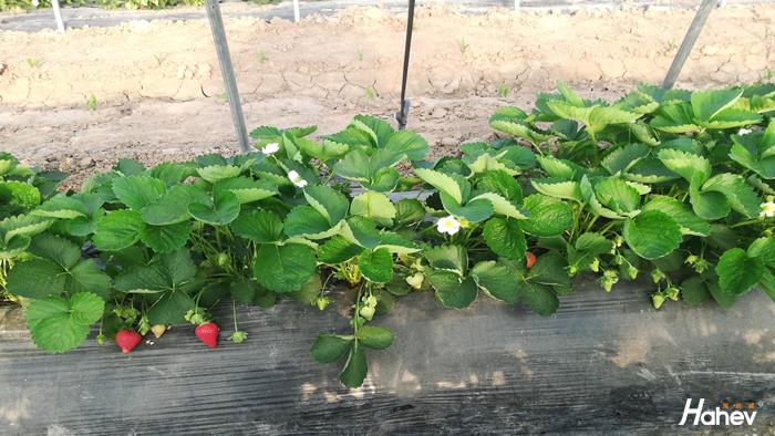 种草莓用什么肥料好?看夏大哥怎么说