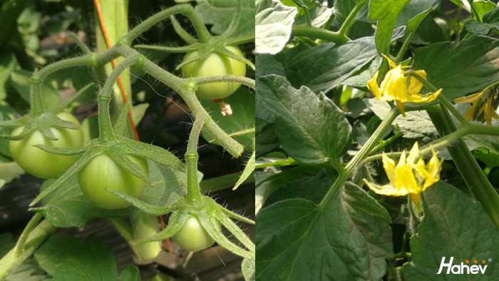 叶面肥-西红柿