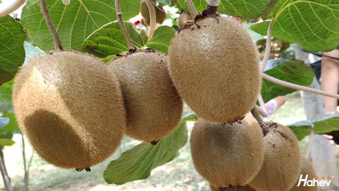 猕猴桃春季用什么肥料好?经销商张总选它
