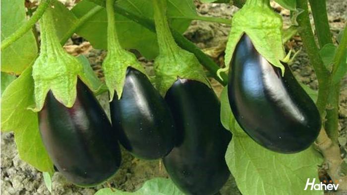 茄子用什么肥料好,为何李大哥家的卖价高