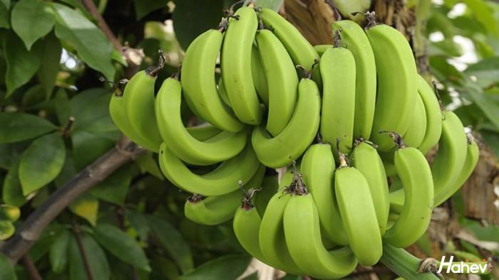 叶面肥-香蕉