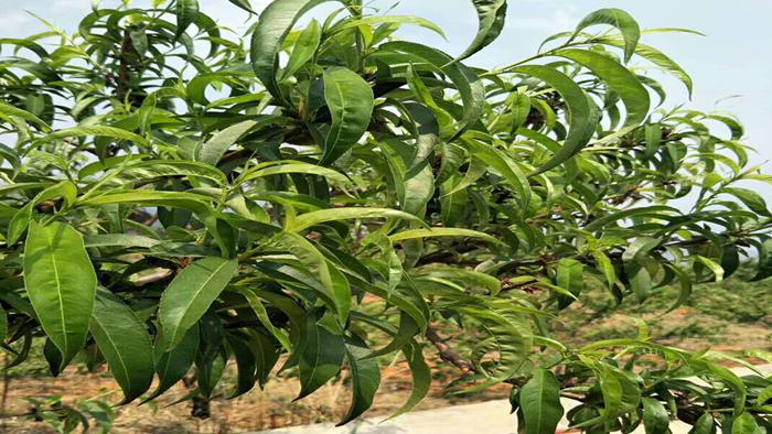 叶面肥-桃树
