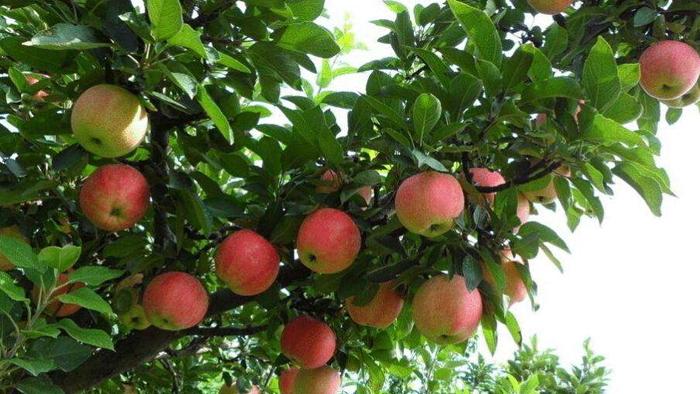 海和威告诉你,果树秋季施肥,记住两个70%!
