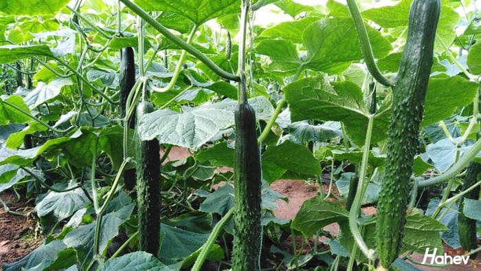 黄瓜用什么水溶肥品质高