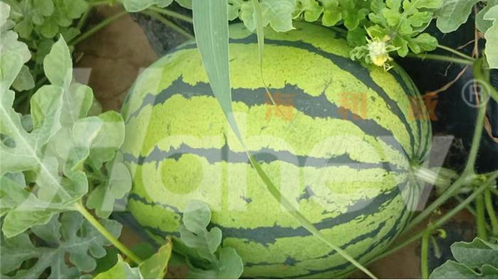 颗粒水溶肥-西瓜