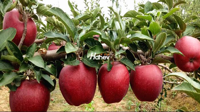 高钾大量元素水溶肥-苹果-缩_副本