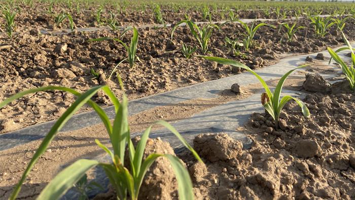 玉米叶面肥