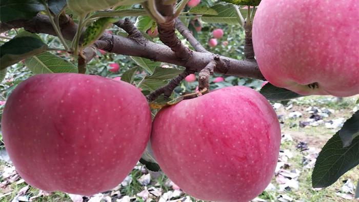苹果树施什么肥料好
