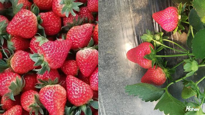草莓追肥用什么肥料好?听杨大叔怎么说